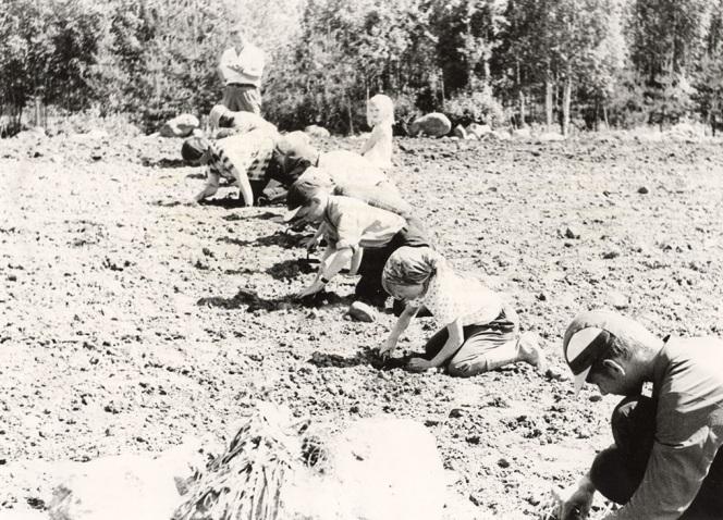 4H:n sokerijuurikkaan harvennuskilpailu Karankamäessä vuonna 1964. Kuva: Mäntyharjun museo.
